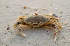 Krab op strand Stock Afbeelding