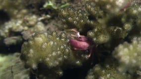Krab op zeebedding op zoek naar voedsel in oceaan van Filippijnen wordt gemaskeerd die stock video