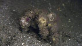 Krab op zeebedding op zoek naar voedsel in oceaan van Filippijnen wordt gemaskeerd die stock footage
