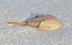 krab plażowa podkowa Zdjęcia Royalty Free