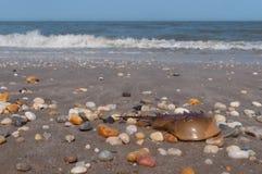 krab podkowa Zdjęcia Royalty Free