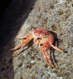 krab pojedynczy Obrazy Stock