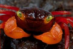 krab pomarańcze fotografia stock