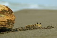 Krab przy plażą Zdjęcia Stock