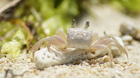 Krab, sekret plaża, Bali, Indonezja, Zdjęcia Royalty Free