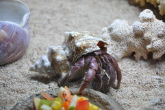 Krab in shell Royalty-vrije Stock Afbeelding