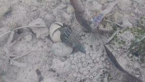 Krab in shell in een ondiep water stock videobeelden