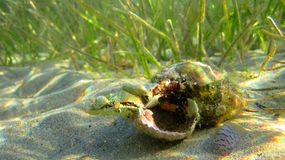 Krab in shell onder overzees Stock Foto's