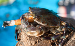 Krab in stres met sigaret, Goa, India Royalty-vrije Stock Afbeelding