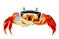 krab tęcza Zdjęcie Royalty Free