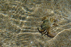 Krab in Water Royalty-vrije Stock Foto