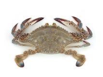 krab żywy Obraz Stock