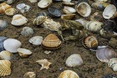 Krab in zeeschelpen op de vuile zandachtergrond Stock Foto