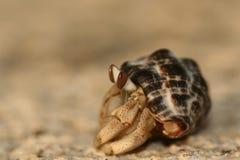 Krab in zijn shell Stock Afbeelding