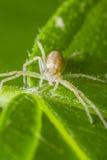 kraba łasowania pająk Obrazy Royalty Free