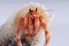 kraba eremita obrazy royalty free