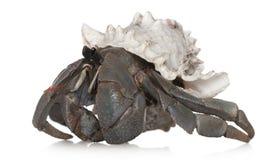 kraba eremita obrazy stock