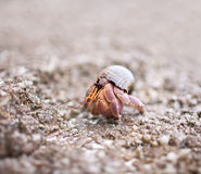 kraba eremita Fotografia Stock