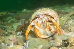 kraba eremita huntng Zdjęcie Stock