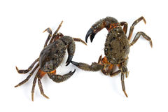 kraba eriphia kamienia dwa verrucosa Obraz Royalty Free