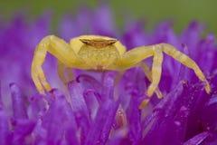 kraba kwiatu złoty jeżatki purpur pająk obraz stock