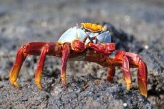 kraba lightfoot sally Zdjęcie Stock