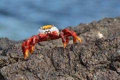 kraba lightfoot sally Obrazy Stock