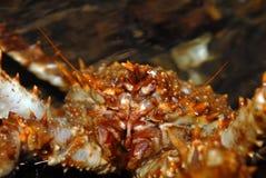 kraba lithodes maja północny kamień Zdjęcia Royalty Free