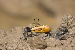 kraba mangrowe chodzenie fotografia royalty free