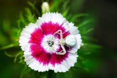 Kraba pająk na kwiacie Obrazy Royalty Free