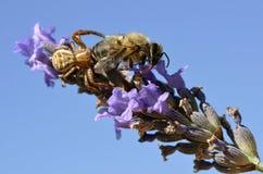 Kraba pająka łasowania pszczoła Obraz Royalty Free