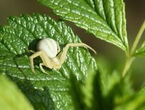 Kraba pająk Obrazy Stock