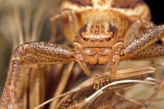 kraba pająk Obrazy Royalty Free
