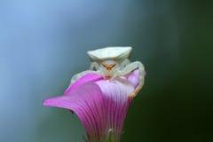 Kraba pająk Zdjęcie Stock