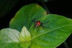 Kraba pająk Fotografia Royalty Free