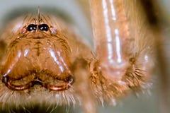 Kraba pająk Zdjęcie Royalty Free