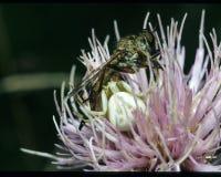 Kraba pająk i zabójca komarnica Obrazy Royalty Free