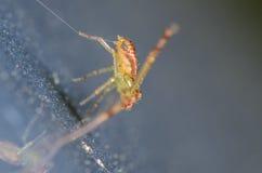 Kraba pająk - Misumessus oblongus Fotografia Stock