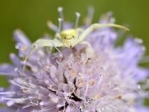 Kraba pająk na knautia kwiacie Obraz Royalty Free