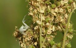 Kraba pająk, Thomisidae Misumena vatia polowanie na wildflower Zdjęcie Stock