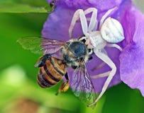 Kraba pająka killing honeybee Zdjęcia Royalty Free
