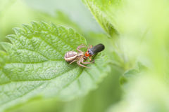 Kraba pająk żołnierz ścigi - zdobycz - Zdjęcie Stock