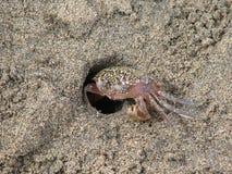 kraba piasek obrazy royalty free