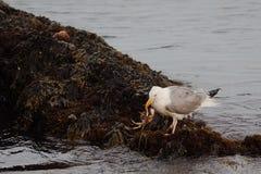 kraba seagull obrazy royalty free