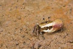 kraba skrzypacz zdjęcie royalty free