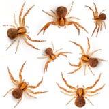 kraba sp pająków xysticus fotografia royalty free
