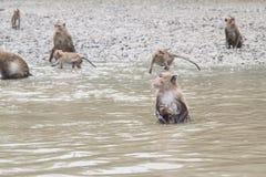 Krabba-äta macaquen Royaltyfria Foton