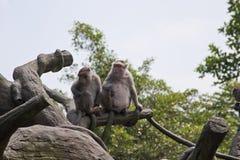 Krabba-äta macaquen, Macacafascicularis Arkivbild