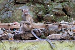 Krabba-äta macaquen också som är bekant som lång-tailed macaque i Batu Ca Royaltyfria Foton