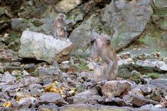 Krabba-äta macaquen som äter någon mat i Batu grottor, Malaysia Arkivfoton